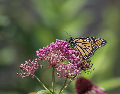 Photograph - Monarch 2017-1 by Thomas Young