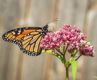 Photograph - Monarch 2017-2 by Thomas Young