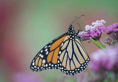 Swamp Milkweed Photograph - Monarch 2017-4 by Thomas Young