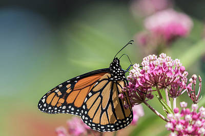 Swamp Milkweed Photograph - Monarch 2017-5 by Thomas Young