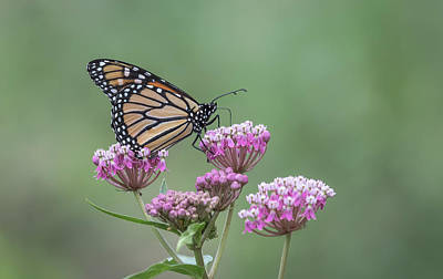 Swamp Milkweed Photograph - Monarch 2017-7 by Thomas Young
