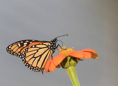 Photograph - Monarch 2017-9 by Thomas Young