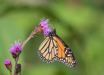 Photograph - Monarch 2018-12 by Thomas Young