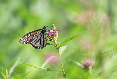 Photograph - Monarch 2018-4 by Thomas Young