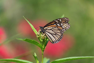 Butterflies Rights Managed Images - Monarch 2018-5 Royalty-Free Image by Thomas Young