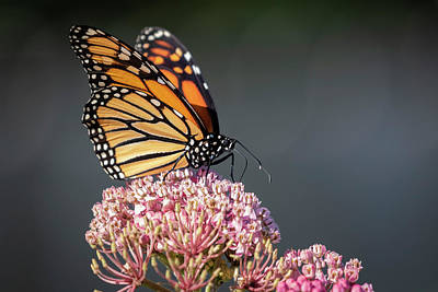 Photograph - Monarch 2018-6 by Thomas Young