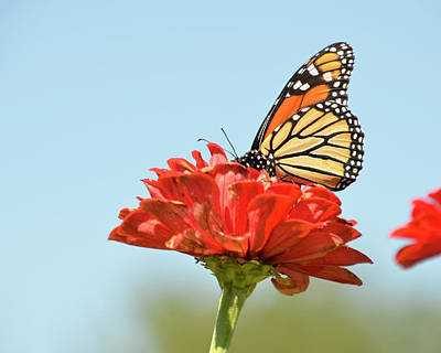 Photograph - Monarch  3 by Ann Bridges