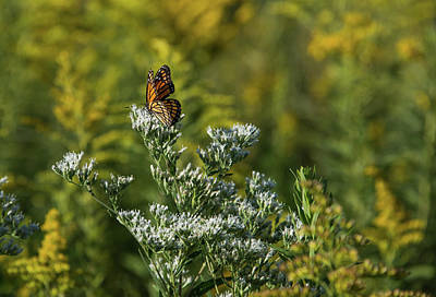 Photograph - Monarch 3 by Lindy Grasser