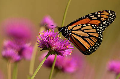 Photograph - Monarch 4 by Ann Bridges