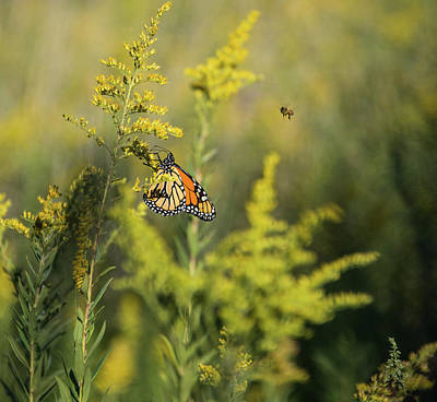 Photograph - Monarch 4 by Lindy Grasser