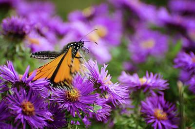 Photograph - Monarch 4 by Susan McMenamin