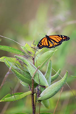 Photograph - Monarch 5 by Bill Wakeley