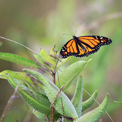 Photograph - Monarch 5 Square by Bill Wakeley