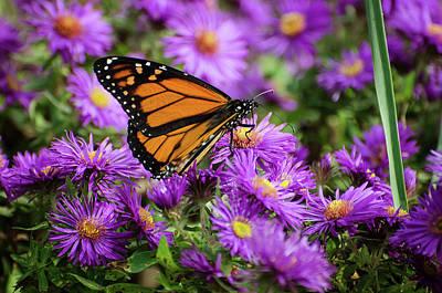 Photograph - Monarch 5 by Susan McMenamin