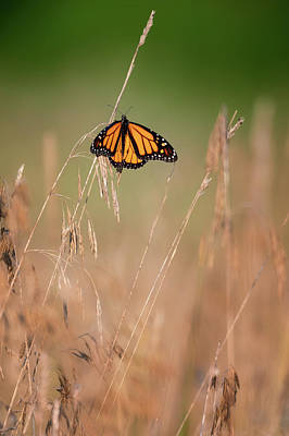 Photograph - Monarch 6 by Bill Wakeley