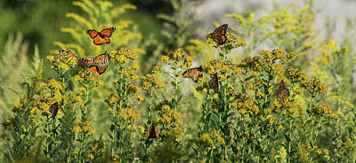 Photograph - Monarch 6 by Lindy Grasser