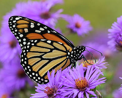 Photograph - Monarch Among The Asters by Doris Potter