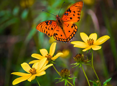 Butterfly In Flight Photograph - Monarch Among The Daisies by Parker Cunningham