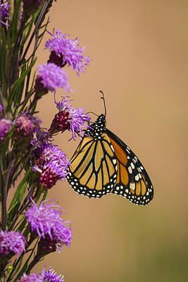 Monarch And Blazing Star 2013-1 Art Print