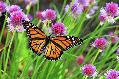 Photograph - Monarch And Chives by Debbie Oppermann