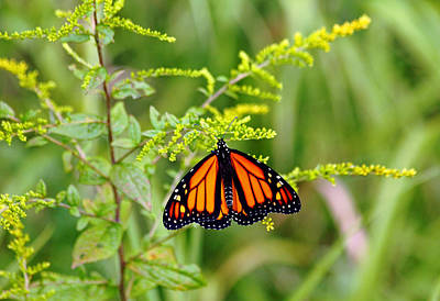 Photograph - Monarch And Goldenrod by Debbie Oppermann