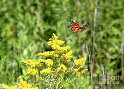 Photograph - Monarch And Goldenrod by The Art of Alice Terrill
