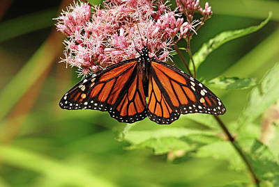 Photograph - Monarch And Joe Pye by Debbie Oppermann