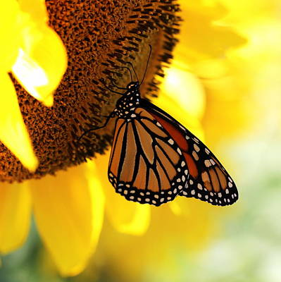 Photograph - Monarch And Sunflower by Joseph Skompski