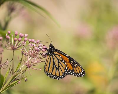 Swamp Milkweed Photograph - Monarch And Swamp Milkweed 1-2015 by Thomas Young