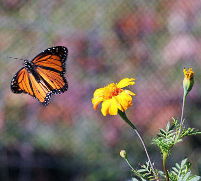 Monarch Photograph - Monarch And The Marigold by Jennifer Robin