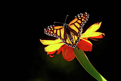 Photograph - Monarch And Tithonia Light And Shadow by Debbie Oppermann