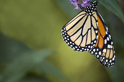 Photograph - Monarch Art by Elsa Marie Santoro