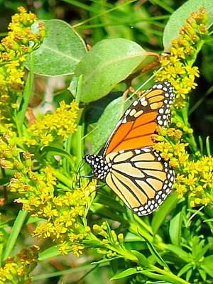 Photograph - Monarch At The Beach by Betty Buller Whitehead