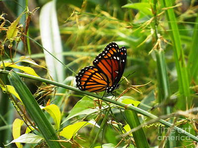 Photograph - Monarch by Audrey Van Tassell