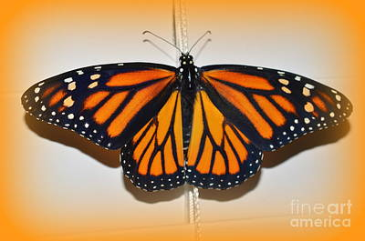 Photograph - Monarch Beauty by Lew Davis