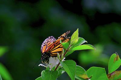 Photograph - Monarch by Brad Chambers