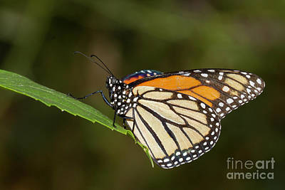 Photograph - Monarch by Bryan Keil