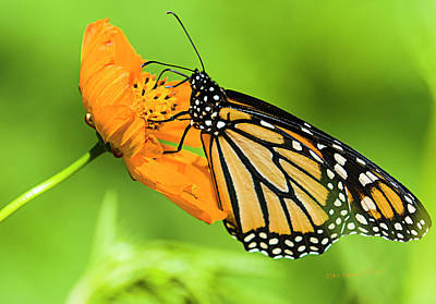 Photograph - Monarch Butterflies And Flower by Edward Peterson