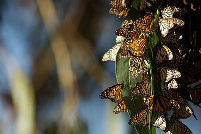 Monarch Butterflies Art Print by Artistic Panda
