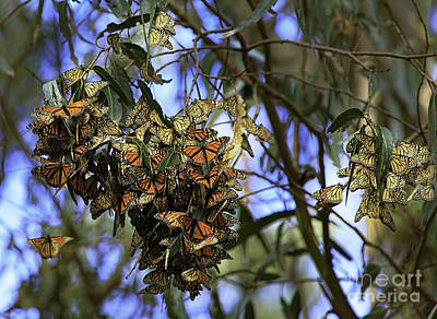 Photograph - Monarch Butterflies by Craig J Satterlee