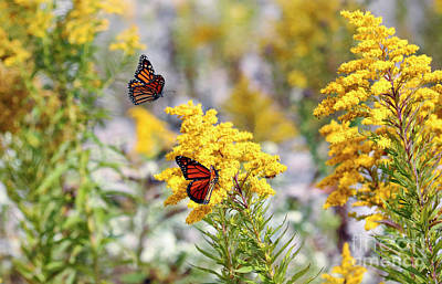 Photograph - Monarch Butterflies Feeding On Goldenrod by Charline Xia