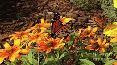 Photograph - Monarch Butterflies by Megan Cohen