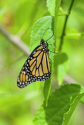 Photograph - Monarch Butterflies by Rich Franco