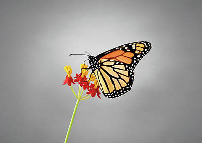 Floral Photograph - Monarch Butterflies by Steven Michael