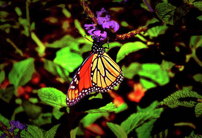 Photograph - Monarch Butterfly 015 by George Bostian