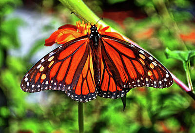 Photograph - Monarch Butterfly 016 by George Bostian