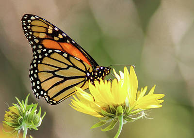 Photograph - Monarch Butterfly 071416 by Rospotte Photography