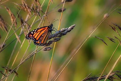 Photograph - Monarch Butterfly 1 by Bill Wakeley