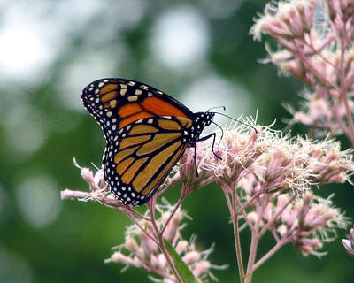 Photograph - Monarch Butterfly 1 by George Jones