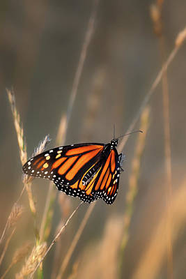 Photograph - Monarch Butterfly Square 2 by Bill Wakeley